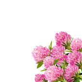Red clover flower on white close up — Stock Photo