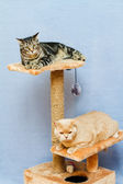 Two cats sits on a cat tower — Zdjęcie stockowe