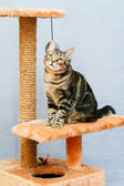 Tabby cat sits on a cat tower  — Stock Photo