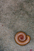 Millipede on floor — Stock Photo