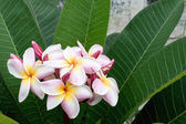 Colorful of Plumeria on garden — Stock Photo