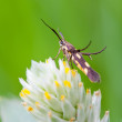 Honey insect collects flower nectar — Stock Photo #32466353