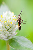 Honey insect collects flower nectar — Stock Photo