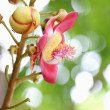 Couroupita guianensis Aubl — Stock Photo