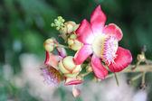 Природа Курупита Гвианская aubl — Стоковое фото