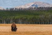 Bison in Yellowstone NP — Stock Photo