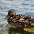 Picture of wild duck in Lake Bled, Slovenia. — Stock Photo
