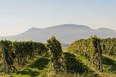 Vineyard in South Moravia — Stock Photo