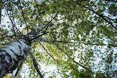 Treetop of birch. — Stock Photo