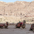 Bedouin camels. — Stock Photo #36164729