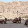 Bedouin camels. — Stock Photo