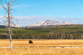 Pasturing bison in front of mountain. — Stock Photo