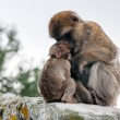 Mother macaque with baby. — Stock Photo