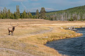 Wild elk in Yellowstone NP. — Stock Photo