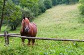 Portret van bruin paard op het groene veld. — Stockfoto