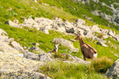 Chamois (Rupicapra Carpatica) in mountain Low Tatras, Slovakia. — Stok fotoğraf
