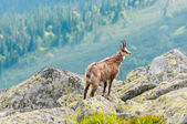 Chamois (Rupicapra Carpatica) in mountain Low Tatras, Slovakia. — Стоковое фото