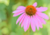 Echinacea — Stock Photo