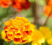 Tagetes Marigold Flowers — Stock Photo