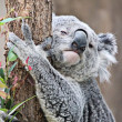 Cute koala hugging tree — Stock Photo