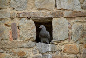 Pidgeon in hole — Stock Photo