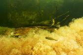 Sarı macarenia clavigera balık — Stok fotoğraf