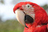 Red Scarlet Macaw close-up — Stock Photo