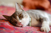 A watchful cat wakes from a mid afternoon nap. — Stock Photo
