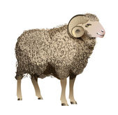Vector Realistic Sheep — Stock Vector