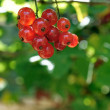 Ripe berries of red currant — Stock Photo