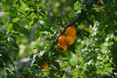 An apricot tree and ripe fruit on the branches — Stock Photo