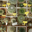 Stock Photo: Cactuses backgrond.