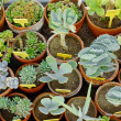 Cactuses Backgrond. — Stock Photo
