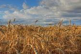 пшеничное поле. — Стоковое фото