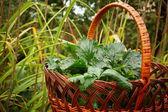 Celery in a basket — Stock Photo