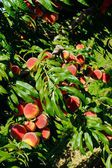 Peach Fruit Orchard in Summer — Stock Photo