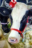 Cow Face Portrait — Stockfoto