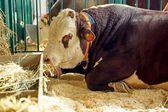 Gado de corte. touro — Fotografia Stock