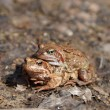 Stock Photo: Spring Frogs
