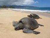 Dwa żółwie w piasku — Zdjęcie stockowe