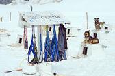 Dog Sledding Harnesses — Stock Photo