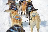 Dog sled close up — Stock Photo