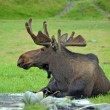 Moose resting in a green field — Stock Photo