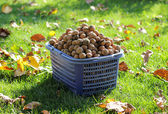 Full basket of walnuts — Stock Photo
