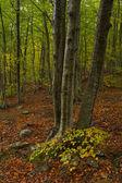 Arbol en bosque a principios de Otoño — Stock Photo