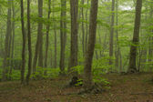Sis, montseny ormanda. — Stok fotoğraf