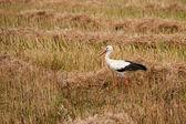 Walked stork — Stock Photo