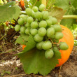 Pumpkin and grapes — Stockfoto #28936829