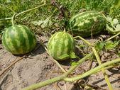Watermelon in the garden — Stock Photo