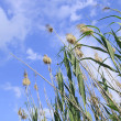 Reeds — Stock Photo #28907035